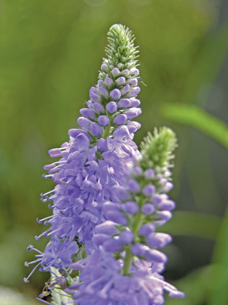 Veronica speedwell purple flower
